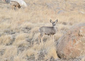 Mule Deer Yearling — Stock Photo