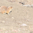 Black-Tailed Prairie Dog — Stock Photo #5146112