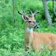 Whitetail Deer Buck - Stock Photo