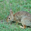 Cottontail Rabbit — Stock Photo #5365184