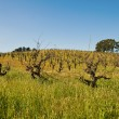 Vineyard — Stock Photo #5209326