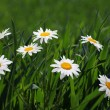 Chamomile in green grass — Stock Photo