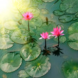 Pond with lily flower — Stock Photo
