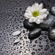 Chamomile and black stones — Stock Photo