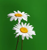 Chamomile flower on green — Stock Photo