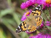 Mariposa en flores — Foto de Stock
