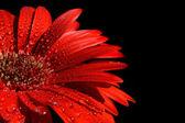 Red gerbera in drops of water — Stock Photo