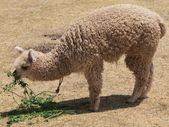 Lama — Стоковое фото