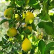 Royalty-Free Stock Photo: Lemons on tree.