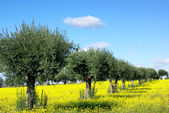 Olives tree in yellow field. — Stock Photo