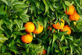 Tangerines on tree. — Stock Photo