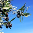 Mature olives on branch. - Stock Photo