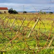Vineyard  portuguese farm. — Stock Photo