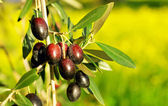 Olives hanging in branch . — Stock Photo