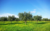 Olives tree in green field at Portugal. — Stock Photo