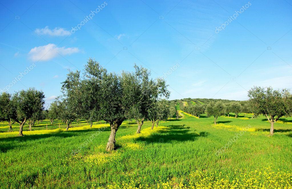 在绿色领域在葡萄牙橄榄树