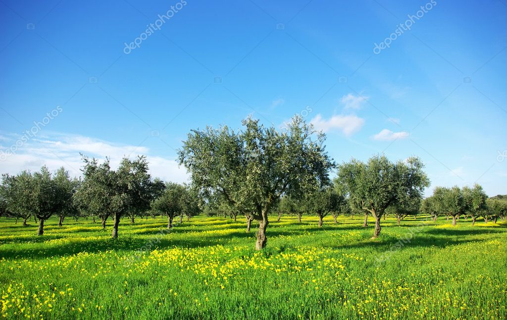 Olives tree in green field at soutt region of Portugal.  Stock Photo #4677492