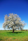 Lonely almond tree in green field. — Stock Photo