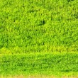 Green wheat  field. — Stock Photo