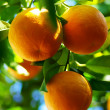 Oranges hanging on tree. - Stock Photo