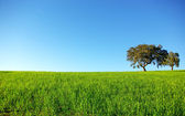 Oak trees in a wheat field. — Stock Photo
