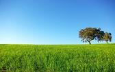 Oak trees in a wheat field. — Stock Photo