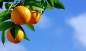Oranges hanging tree — Stock Photo