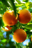 Oranges hanging on tree. — Stock Photo