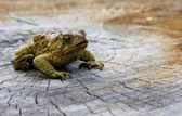 American toad on a log — Stock fotografie
