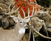 Whitail buck trophy — Stock Photo