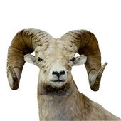 Bighorn sheep isolated — Stock Photo