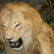 Stock Photo: Growling lion