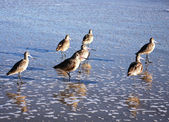 Long bill shore birds — Stock Photo