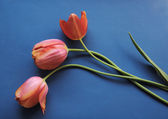 Coral tulips on blue — Stock Photo