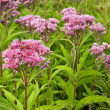 Joe Pye Weed Wild Flowers (Eutrochium) - Stock Photo