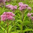 Joe Pye Weed Wild Flowers (Eutrochium) — Stock Photo
