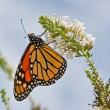 Monarch Butterfly — Foto Stock #4665977