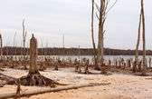 Dead Trees Around a Lake — Stock Photo
