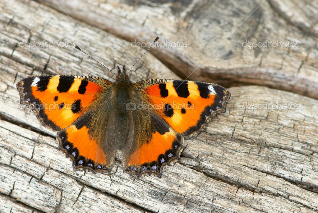 Butterfly close-up isolated on an old wooden background — Stock Photo #4061097