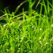 Grass — Stock Photo #4073425