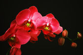 Red orchid with buds — Stock Photo