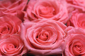Pink roses background — Stock Photo