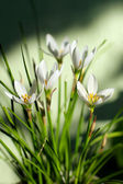 Zephyranthes grandiflora flower — Stock Photo