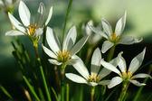 Zephyranthes grandiflora flower — Zdjęcie stockowe