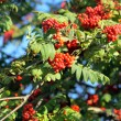 Branch of mountain ash — Stock Photo #4002101