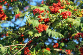 Branch of a mountain ash — Stock Photo