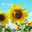 Sunflower field — Stock Photo #4972834