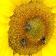 Sunflower with bees - Photo