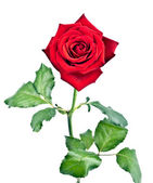 Rose with stem and leaves — Stock Photo