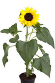 Perfect Sunflower, completely isolated on white — Stock Photo